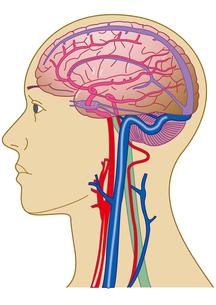 脳と血管の写真素材 [FYI00205329]
