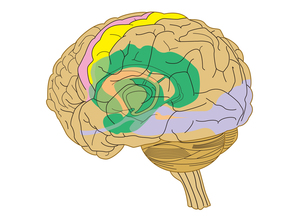 脳と血管の写真素材 [FYI00205339]