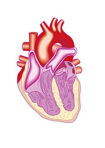 心臓断面図の写真素材 [FYI00205347]