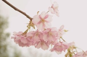 とろけそうな桜の写真素材 [FYI00205745]
