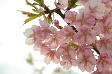 春の桜の写真素材 [FYI00205747]