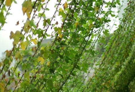 緑のカーテンの素材 [FYI00205755]