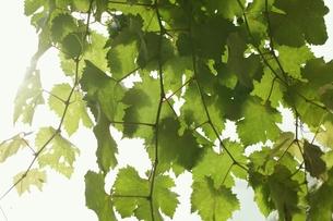 ぶどうの木の葉の写真素材 [FYI00205758]