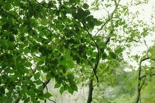 新緑の緑の写真素材 [FYI00205759]