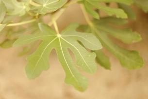 緑の大きな葉の写真素材 [FYI00205779]