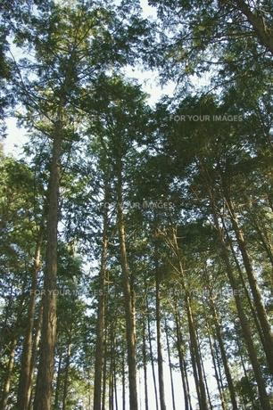 光漏れる木立の写真素材 [FYI00205782]