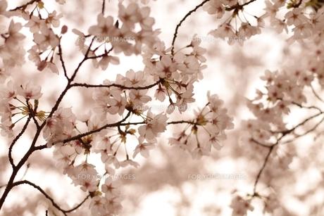 薄紅色の桜の写真素材 [FYI00205792]