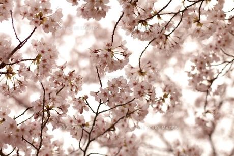 春爛漫の写真素材 [FYI00205798]