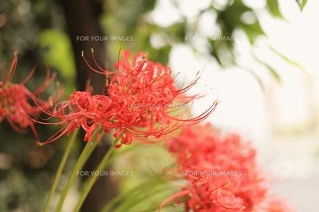 赤のヒガンバナの写真素材 [FYI00205799]