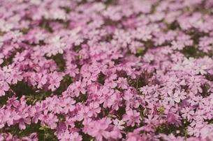 ピンクの芝桜の写真素材 [FYI00205806]