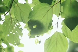 新緑の葉の写真素材 [FYI00205819]