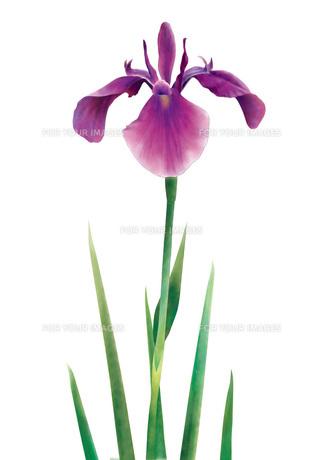 紫色のハナショウブの写真素材 [FYI00206050]