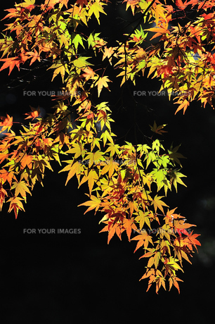 秋のステンドグラスの写真素材 [FYI00206085]
