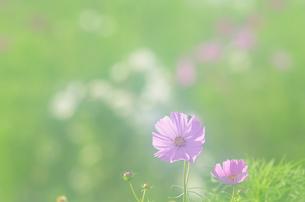朝日のコスモス畑の写真素材 [FYI00206096]