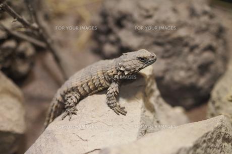 アルマジロトカゲの写真素材 [FYI00206110]