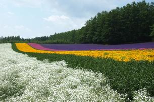 ファーム富田の花畑の写真素材 [FYI00206113]