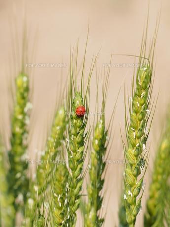麦の穂の写真素材 [FYI00206147]