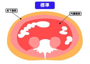 内臓脂肪と皮下脂肪の断面図の素材 [FYI00206535]