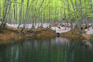 残雪の美人林の写真素材 [FYI00206573]