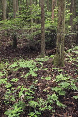 ヤブレガサの森の写真素材 [FYI00206587]
