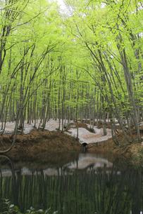 残雪の美人林の写真素材 [FYI00206597]