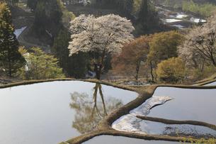 春の棚田とサクラの写真素材 [FYI00206628]