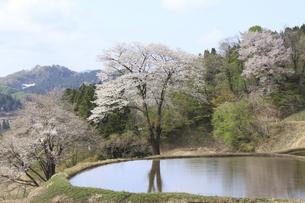 春の棚田とサクラの写真素材 [FYI00206634]