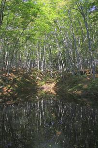水面に映るブナ林の写真素材 [FYI00206686]