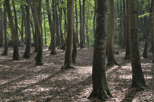 美人林のブナの写真素材 [FYI00206687]