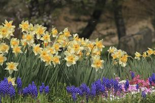 土手に咲く水仙の花の写真素材 [FYI00206700]