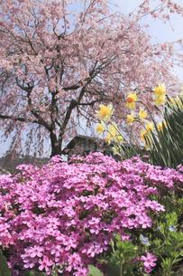 芝桜と枝垂れ桜咲く妻籠宿の写真素材 [FYI00206726]