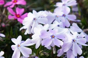うす紫の芝桜の写真素材 [FYI00206786]