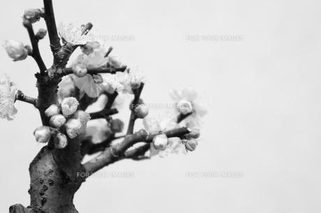 モノクロ梅の盆栽の写真素材 [FYI00206789]