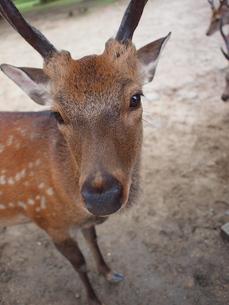 鹿の写真素材 [FYI00206914]