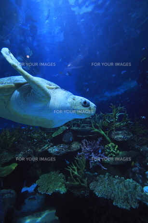 ウミガメの写真素材 [FYI00206986]