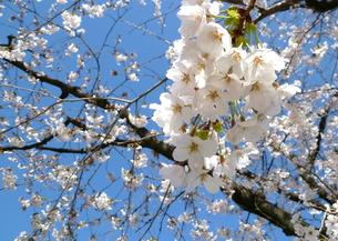 sakuraの写真素材 [FYI00206989]