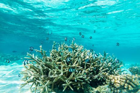 モルディブのサンゴ礁と熱帯魚の写真素材 [FYI00207060]
