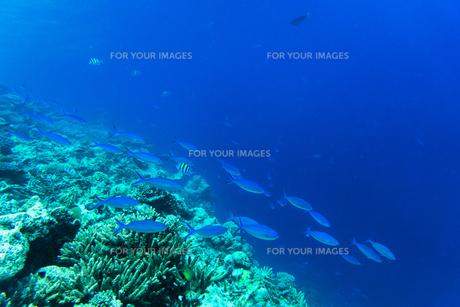 モルディブのサンゴ礁と熱帯魚の写真素材 [FYI00207080]