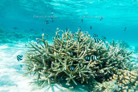 モルディブのサンゴ礁と熱帯魚の写真素材 [FYI00207083]