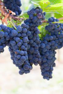 ワインの写真素材 [FYI00207124]