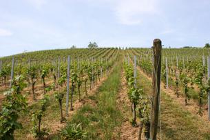 ドイツ プファルツのワイン畑の写真素材 [FYI00207128]