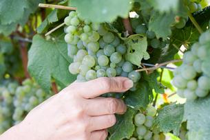 ワインの収穫風景の写真素材 [FYI00207139]