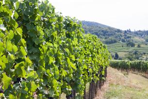 葡萄畑 ドイツワインの写真素材 [FYI00207142]