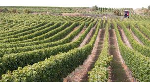 ワインの収穫風景の写真素材 [FYI00207146]