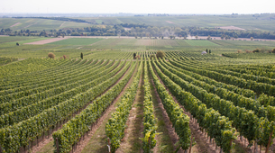 収穫時期のワイン畑の写真素材 [FYI00207150]