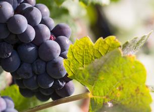 収穫前のワイン ピノノワールの写真素材 [FYI00207153]
