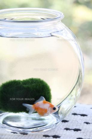 金魚 マリモ 金魚鉢の写真素材 [FYI00207154]