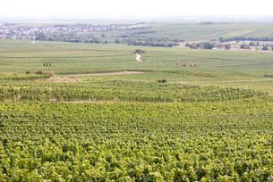 ドイツラインヘッセンのワイン畑の写真素材 [FYI00207157]