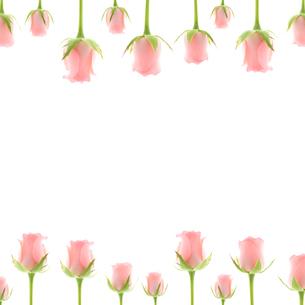 バラ コピースペース 正方形の写真素材 [FYI00207198]