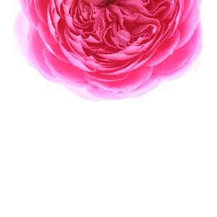 バラ シズク コピースペースの写真素材 [FYI00207200]